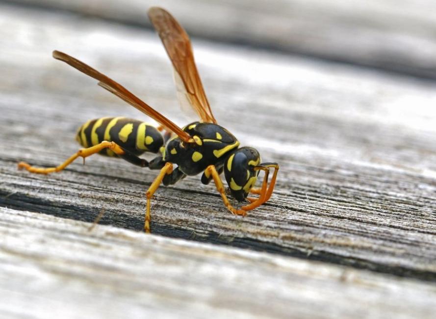 Prevent Wasps